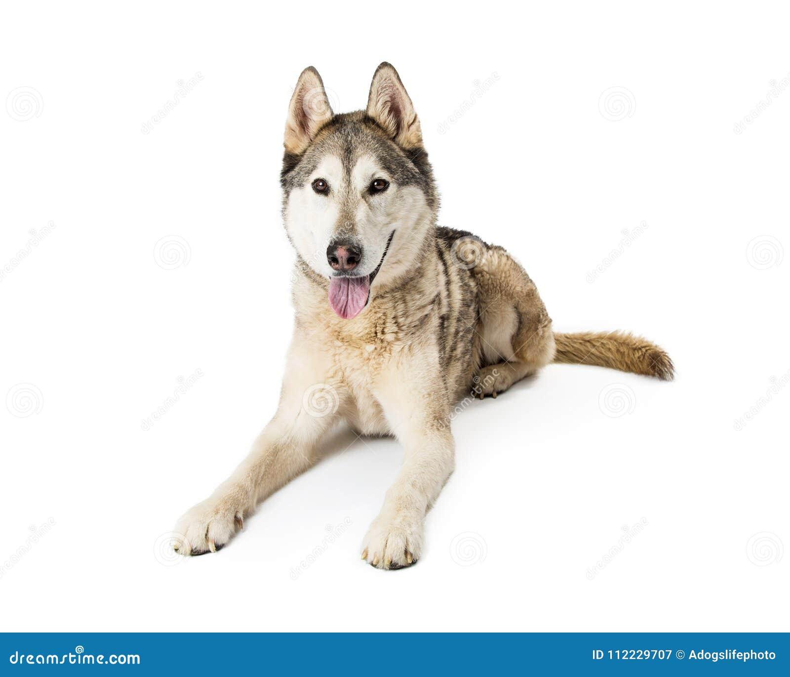 Fonkelnieuw Siberisch Husky Dog Lying Down Stock Afbeelding - Afbeelding LW-03