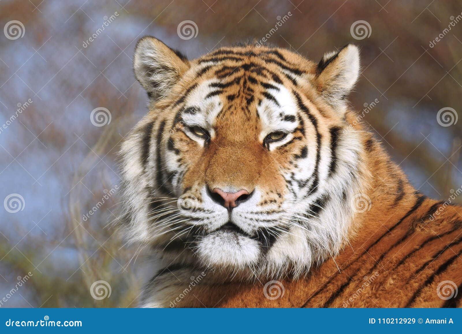 Siberisch Tiger Panthera Tigris Altaica Looking in lens