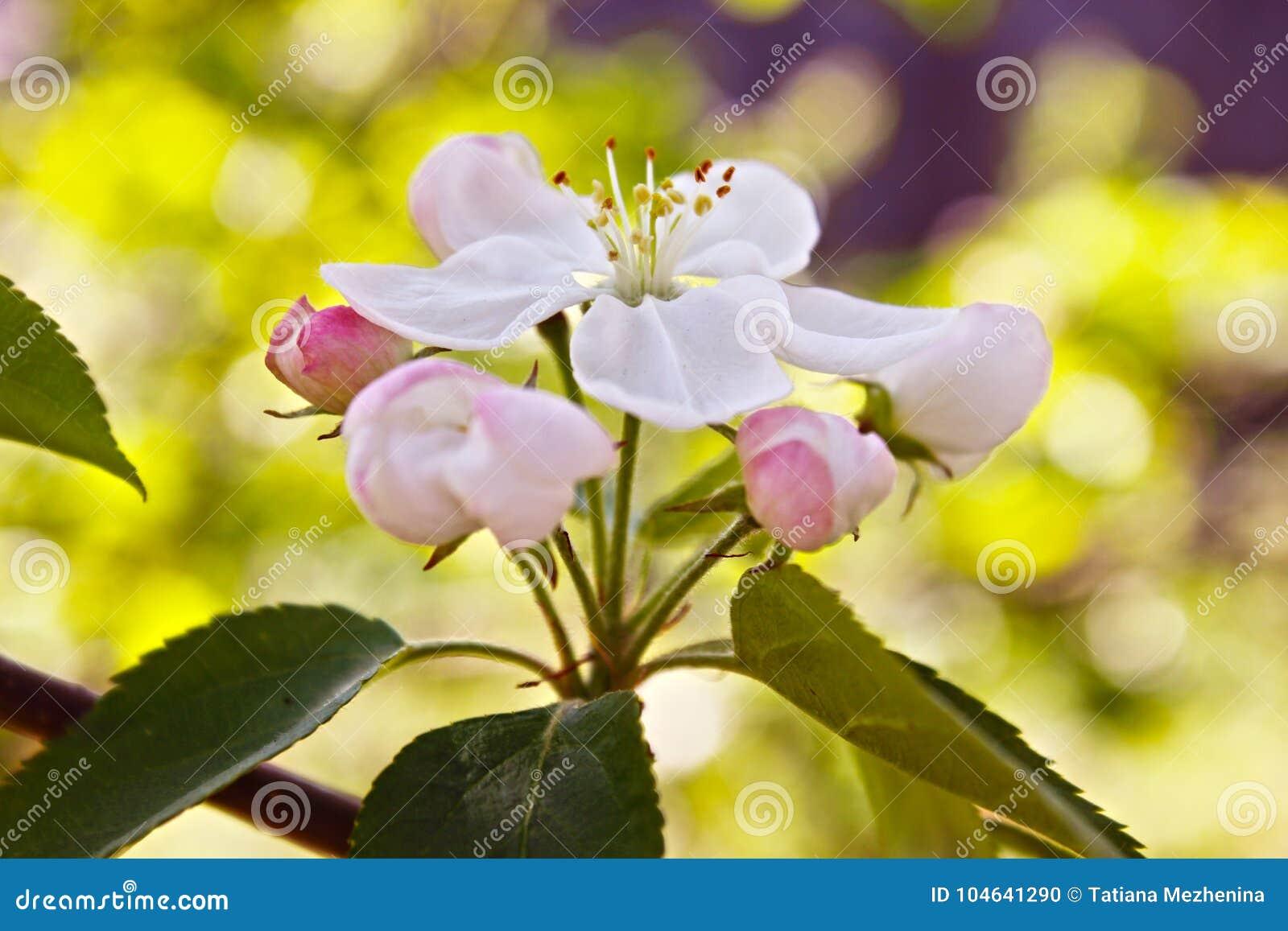 Download Siberische De Bomen Witte Bloem En Bladeren Van De Krabappel Stock Foto - Afbeelding bestaande uit decoratie, blooming: 104641290