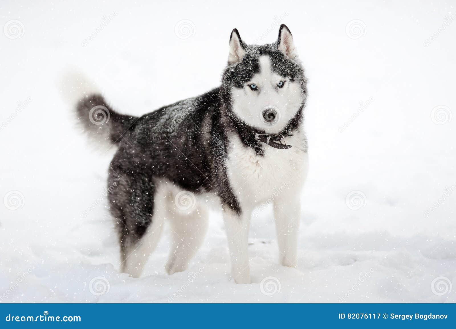 Siberische schor in de winter