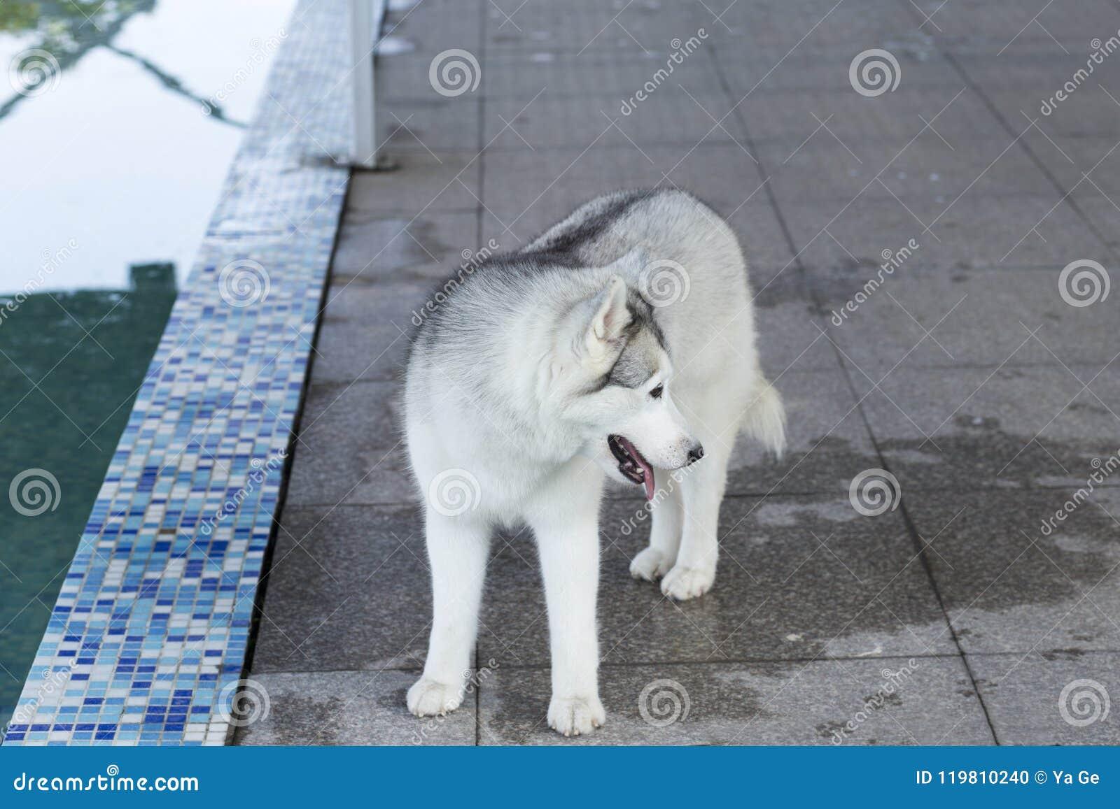 Siberische schor hond