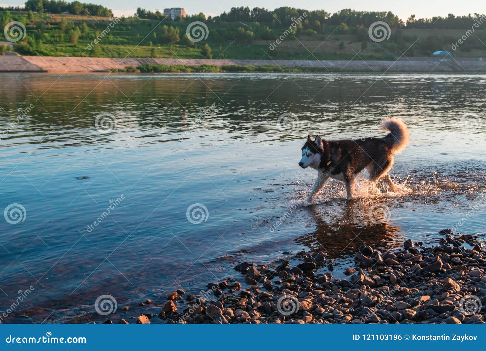 Siberische schor hond die op ondiep water bij zonsondergang lopen De ruimte van het exemplaar