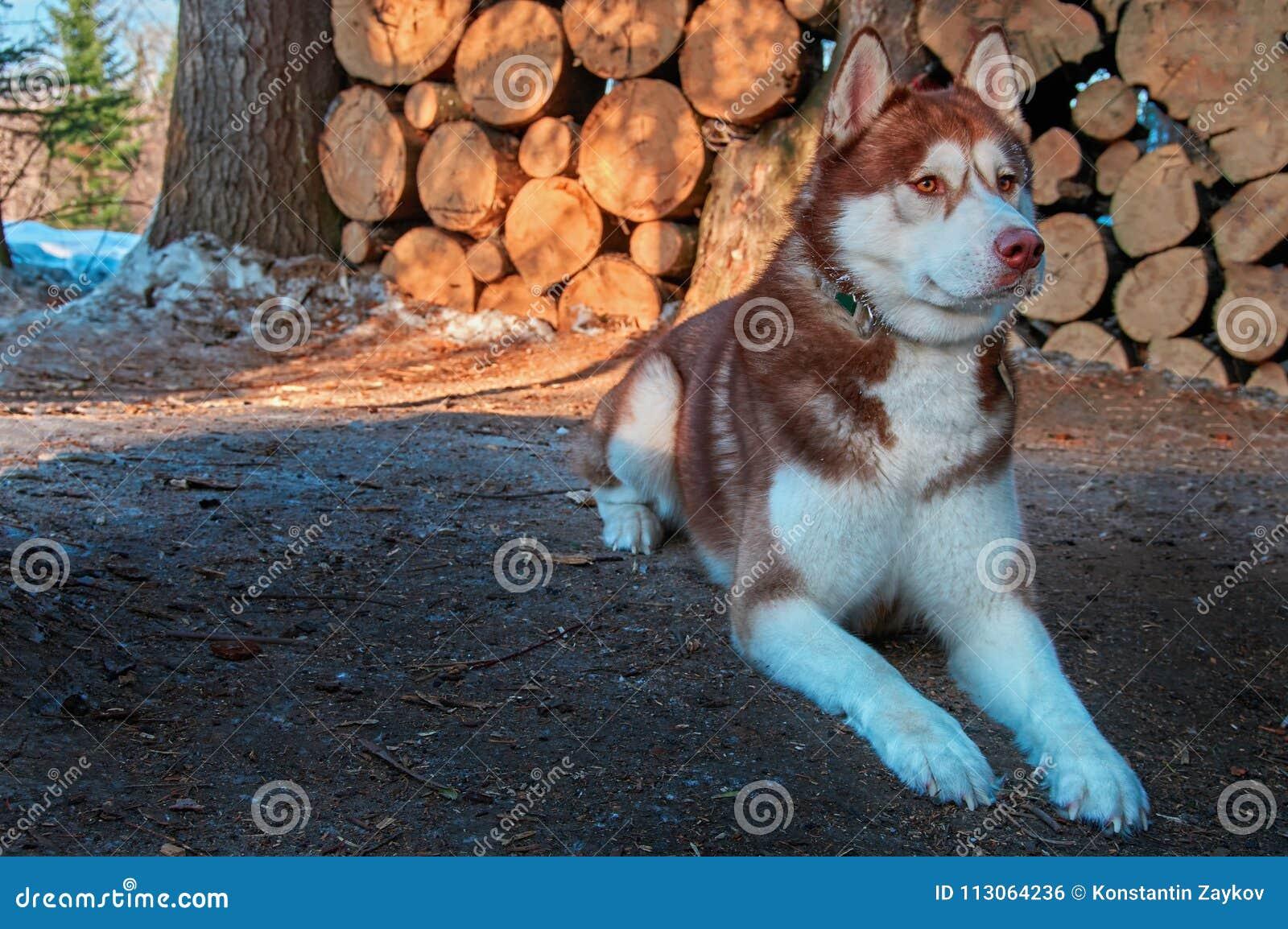 Siberische Schor leugens op achtergrondlogboekbrandhout Mooie hond met roodachtige bruine laag De ruimte van het exemplaar
