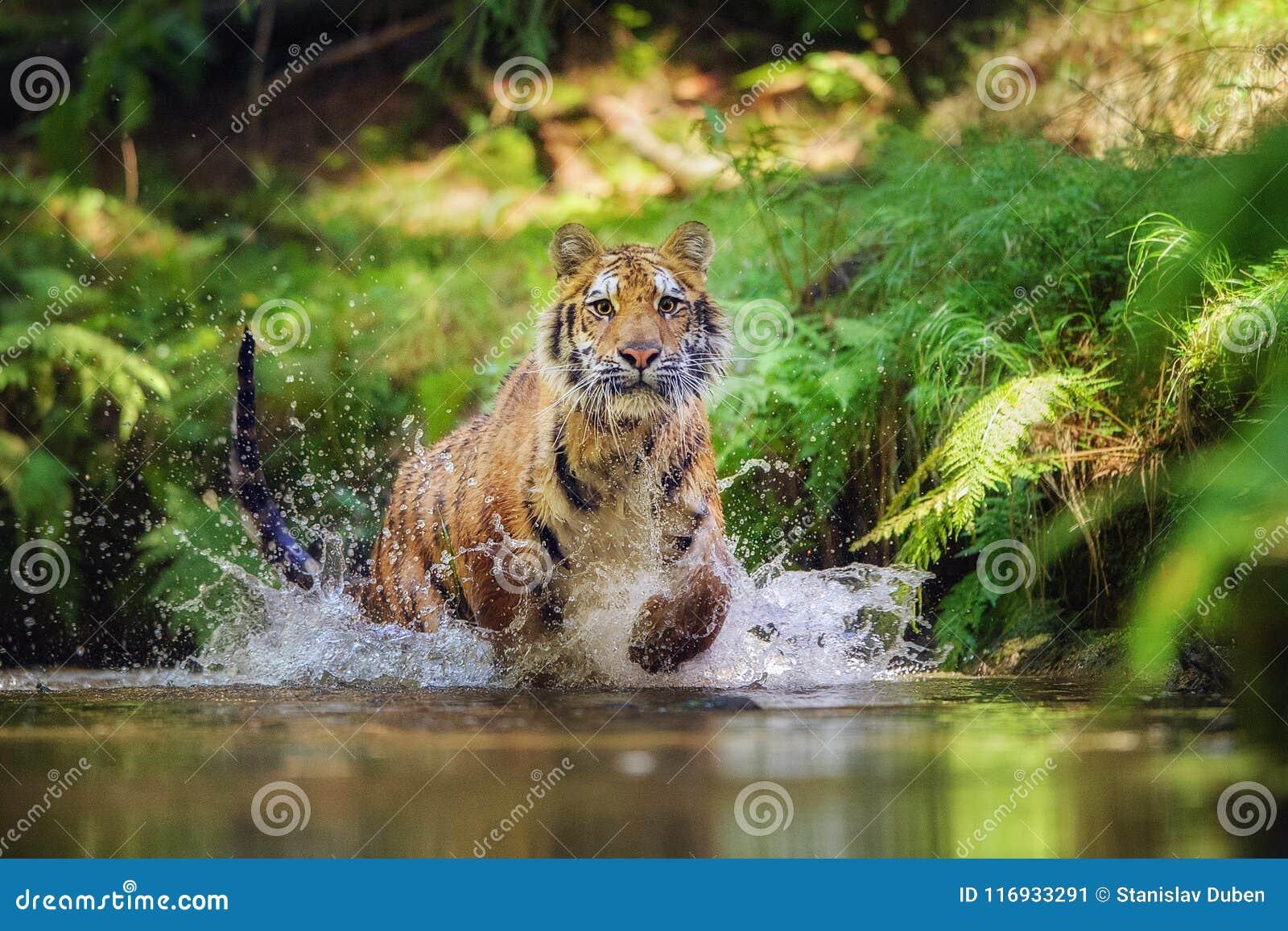 Siberische tijger die in de rivier lopen Tijger met het bespatten van water