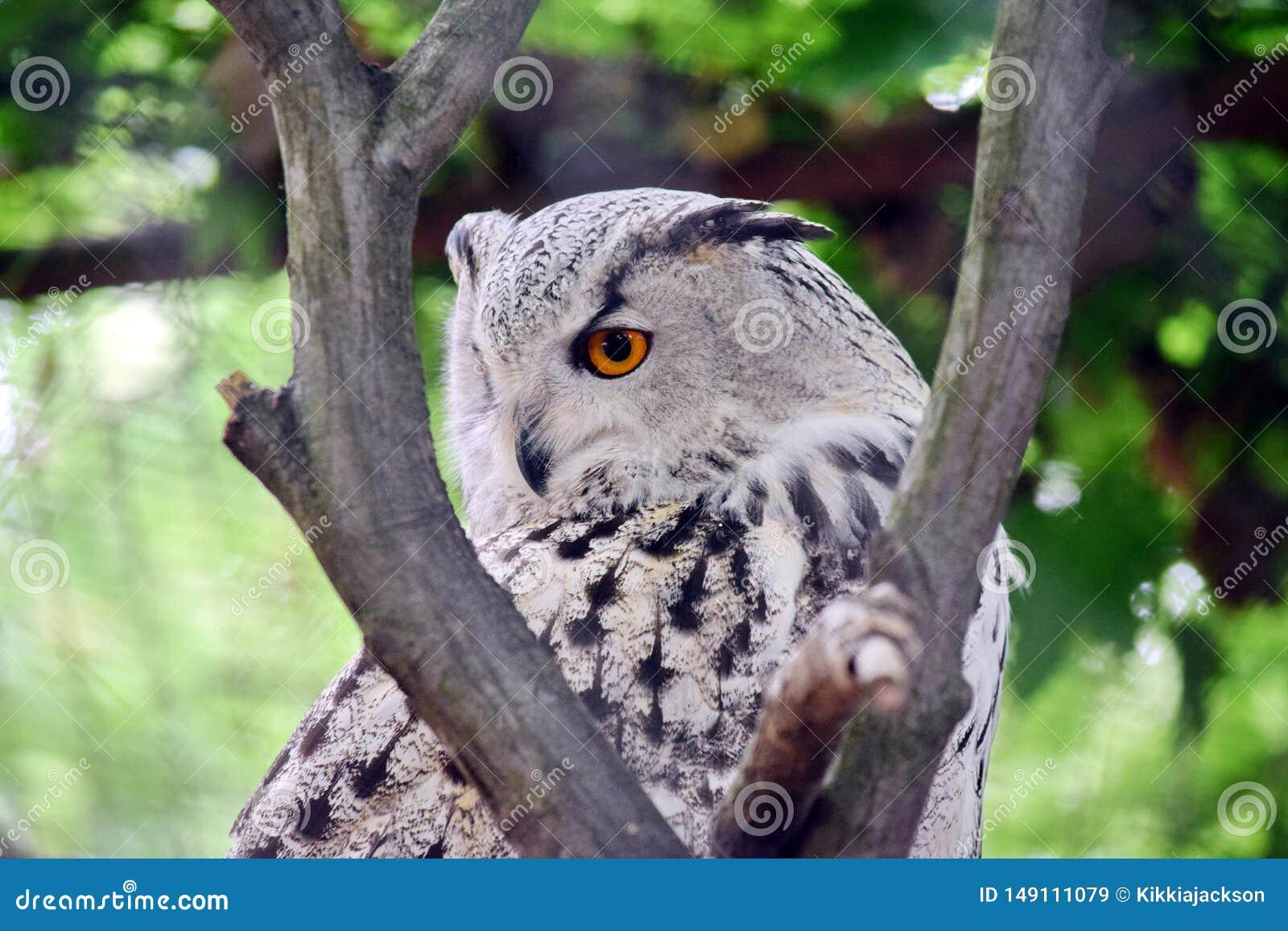 Sibirier Owl Bubo Bubo Sibiricus auf Baum