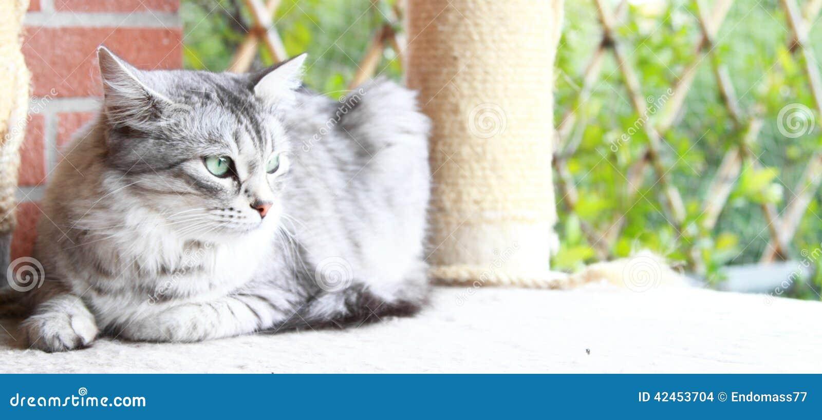 Sibirische Katzensilberversion