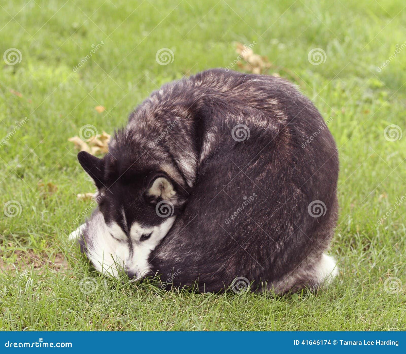 sibirischer husky im gras das sich leckt stockfoto bild 41646174. Black Bedroom Furniture Sets. Home Design Ideas