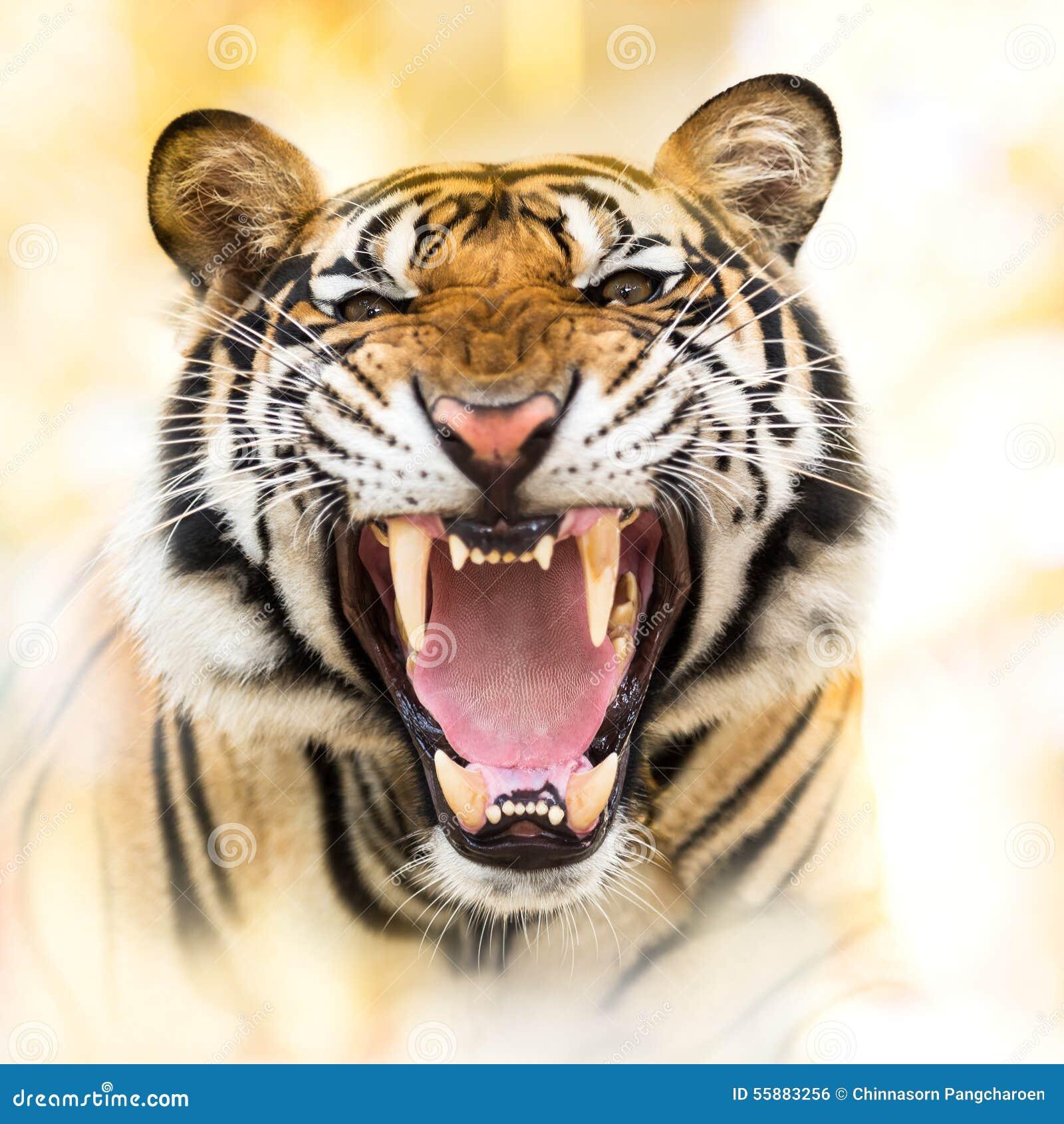 Sibirischer Tiger des Knurrens