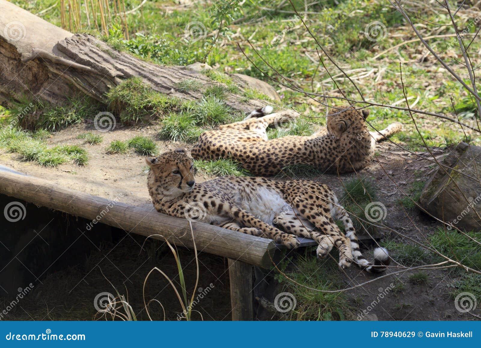 Sichernde Geparde