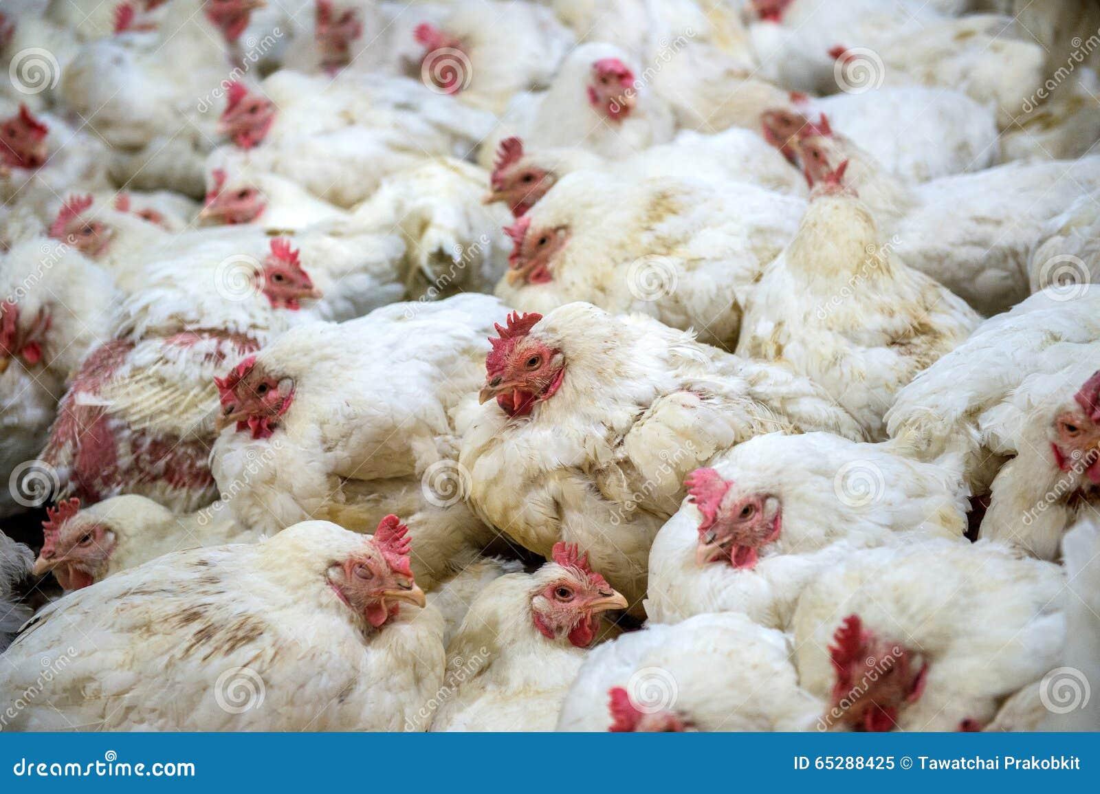 Sick Chicken Or Sad Chicken In Farm,Epidemic, Bird Flu. Stock Photo ...