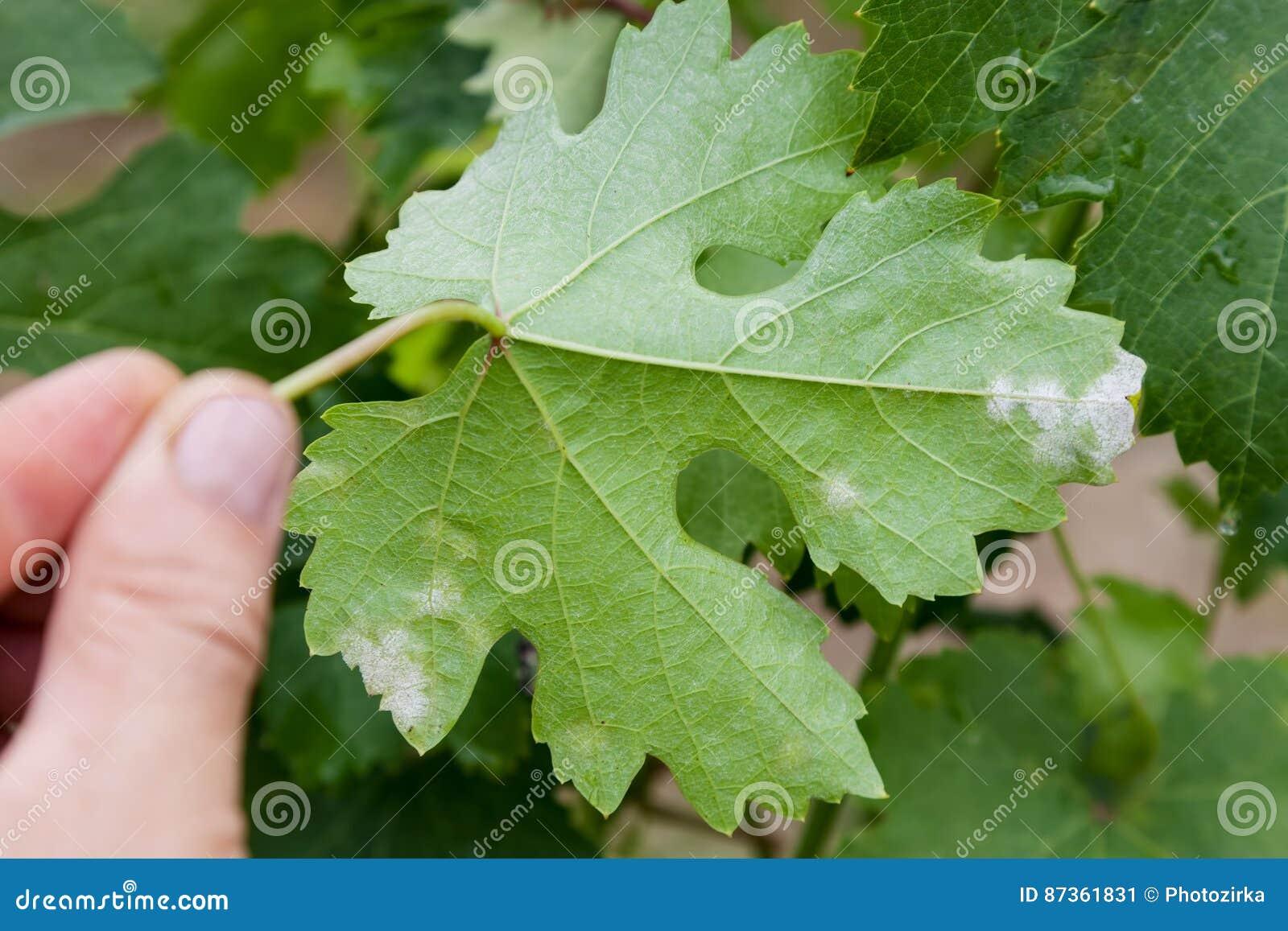 Download Sick grape leaf closeup stock image. Image of hand, injury - 87361831