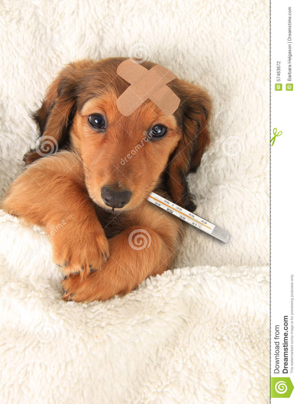 Sick dachshund puppy with a bandaid and thermometer.