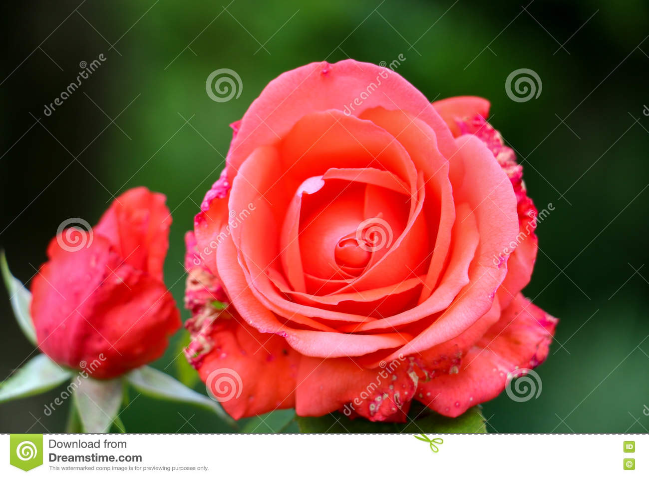 Sick Rose Flower In The Garden Stock Photo Image Of Complex Grow