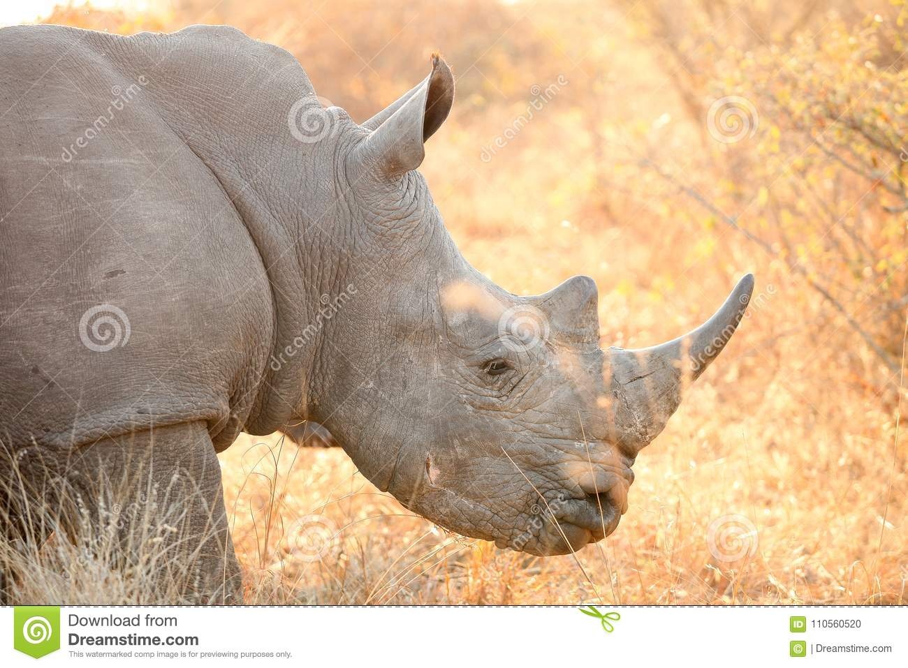 Side angle close up of the head of an African White Rhino in a South African game reserve