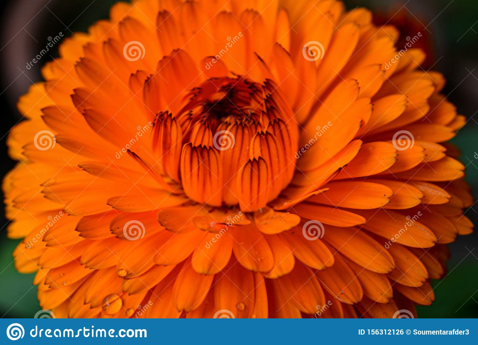 Beautiful orange color Calendula flower