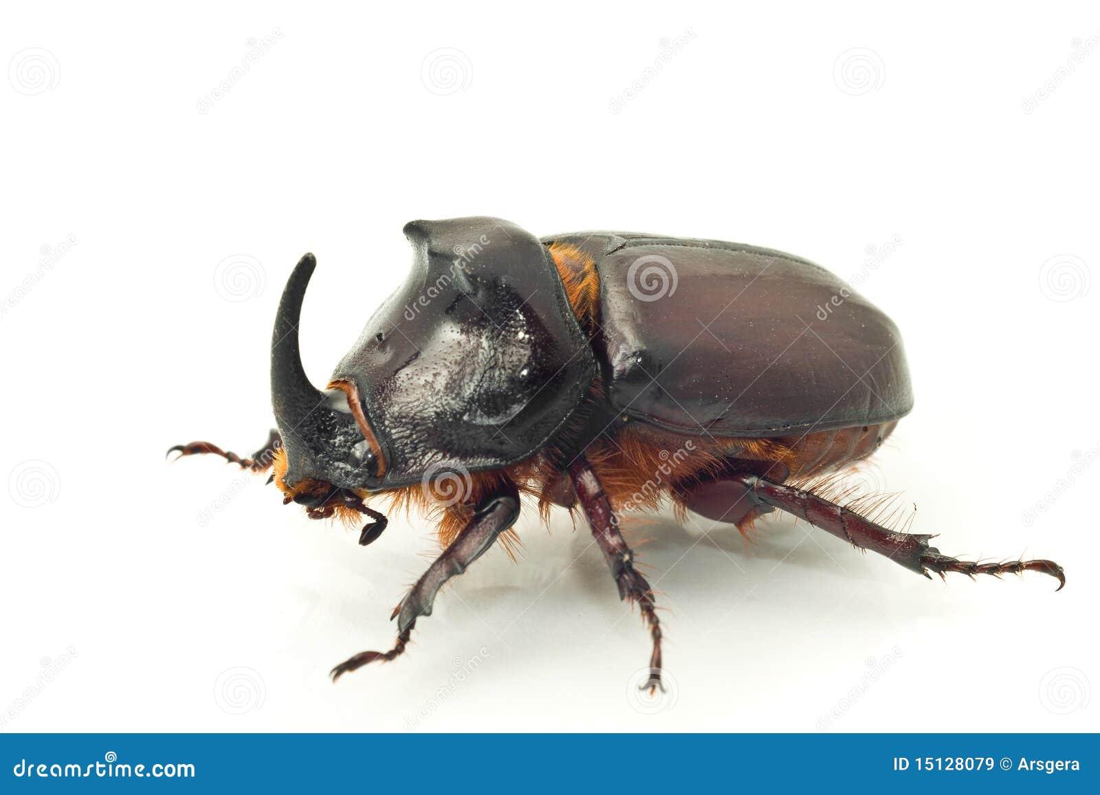 Жук-носорог фото для детей