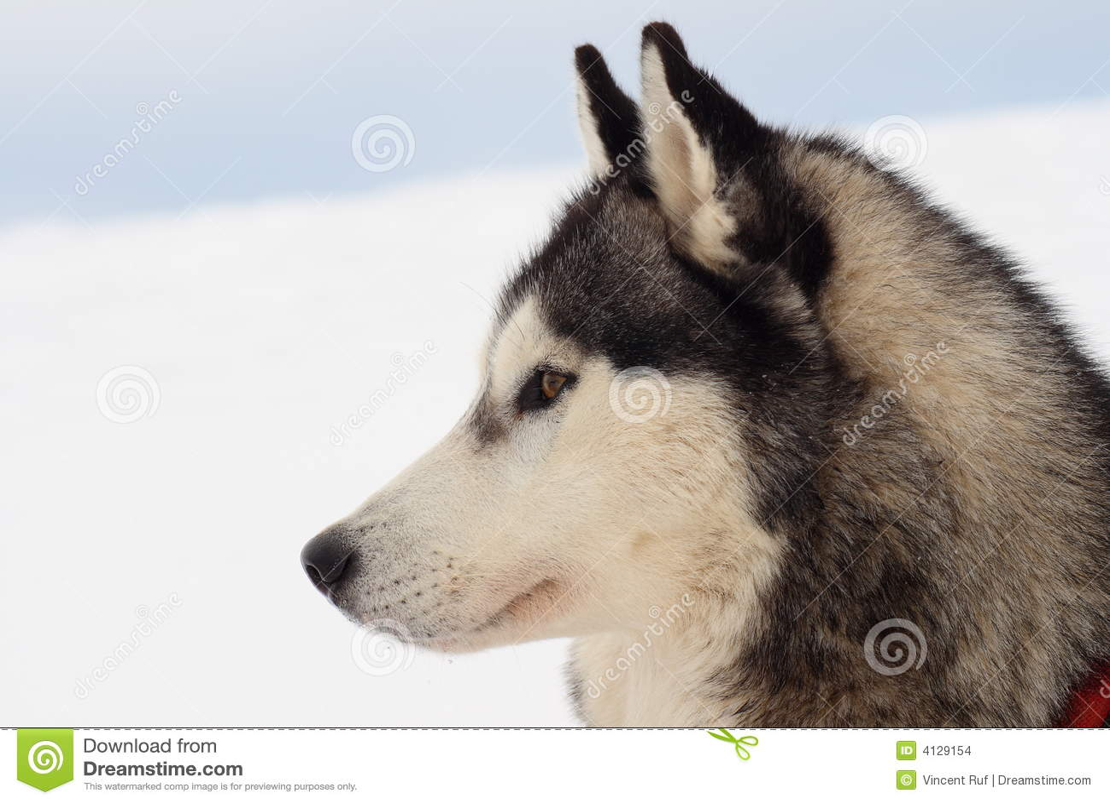 side portrait of husky dog stock photo image of mammal 4129154. Black Bedroom Furniture Sets. Home Design Ideas