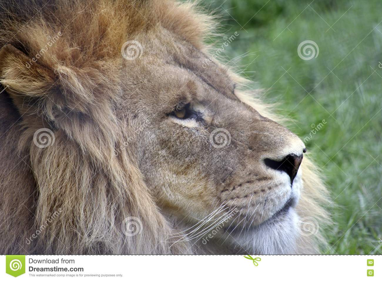 Side Profile Of A Lion Royalty Free Stock Photos - Image ...