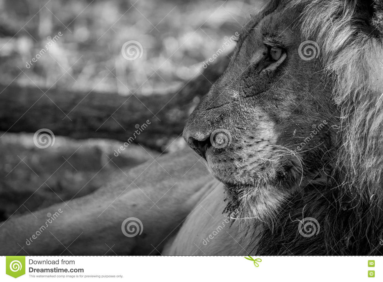 Side profile of a male Lion in black and white.