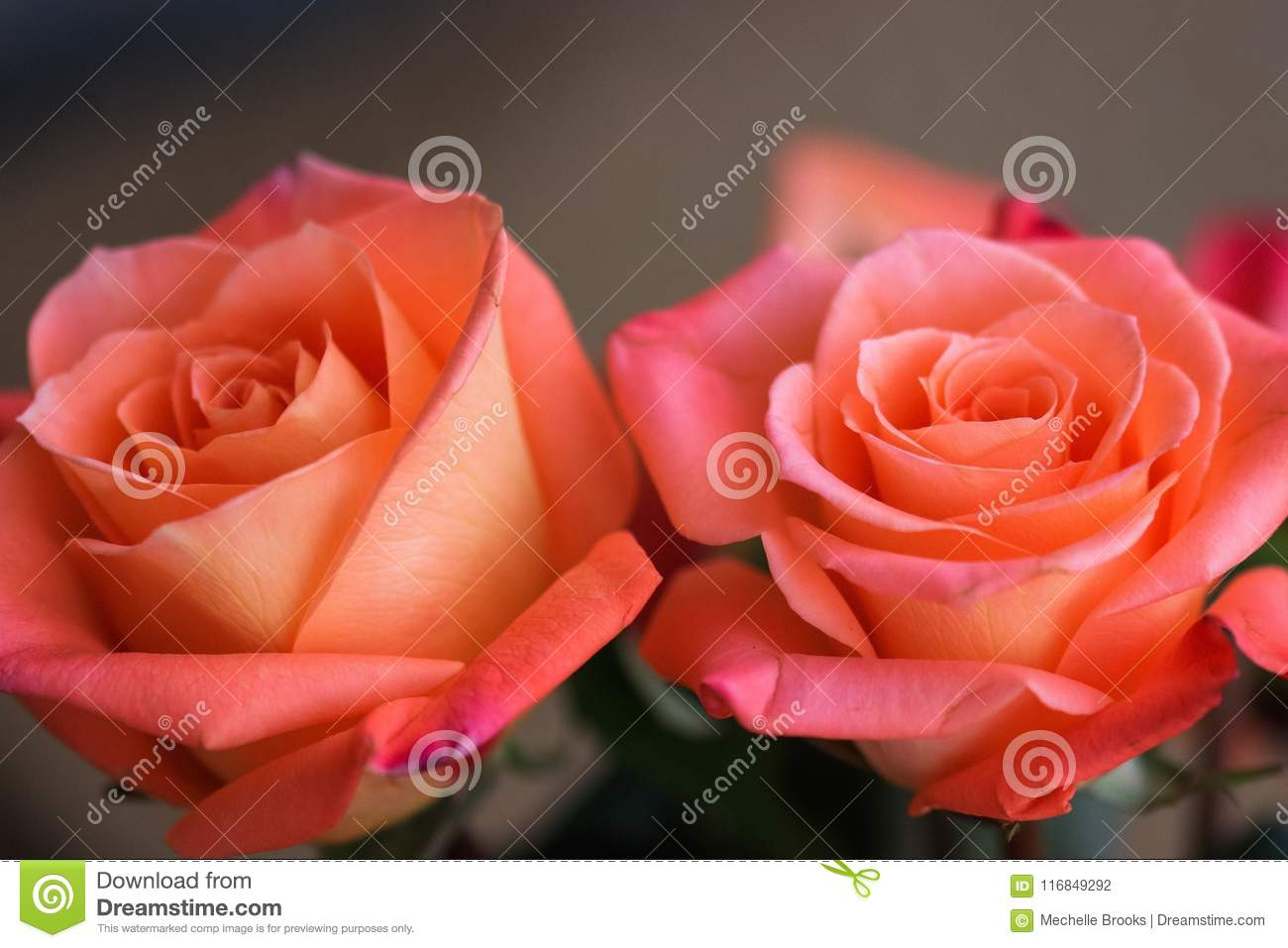 two gorgeous peach colored roses stock photo image of peachy