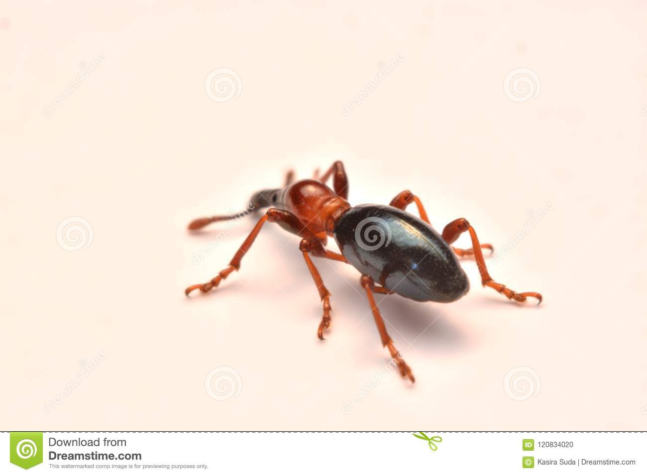 Side view of an Acorn weevil, Curculio glandium, weevil Small be