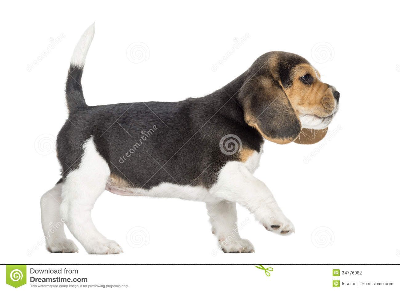 side view of a beagle puppy walking pawing up isolated stock photo image 34776082. Black Bedroom Furniture Sets. Home Design Ideas