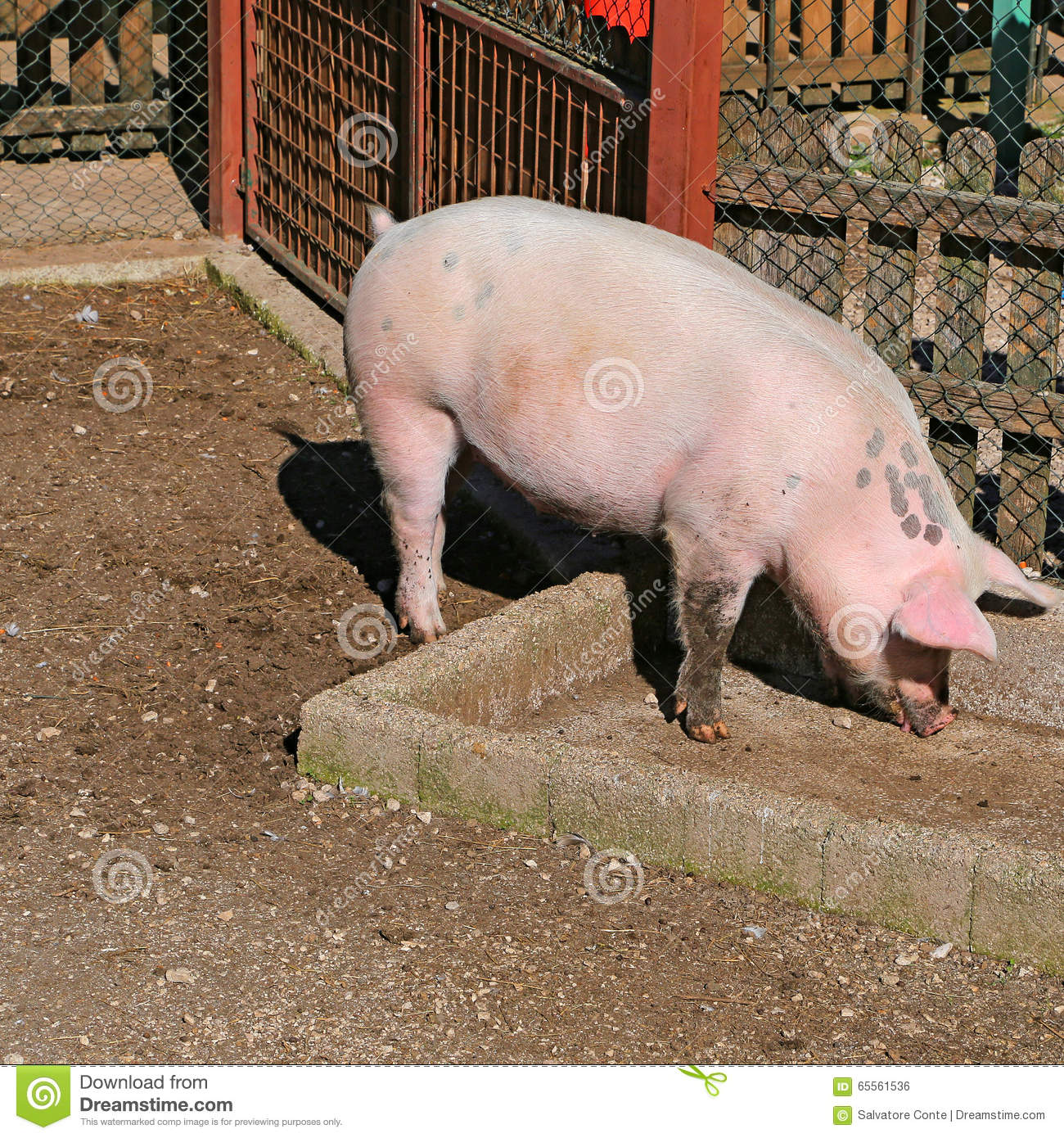 Side View Of A Big Pig Stock Photography