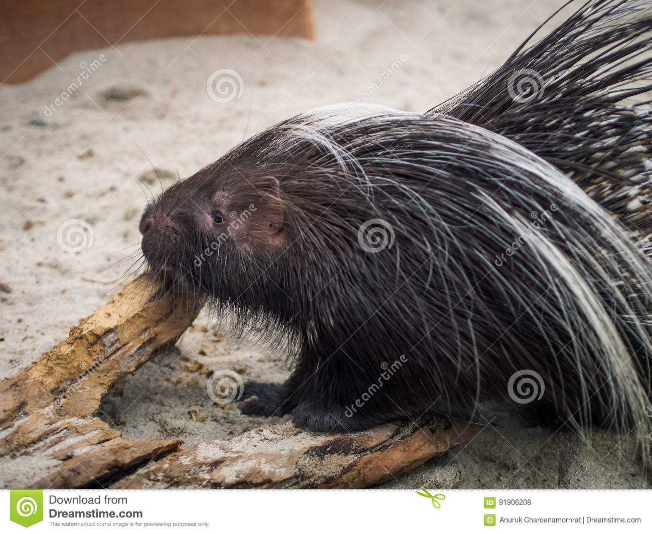 Side view of black malayan porcupine standing on floor
