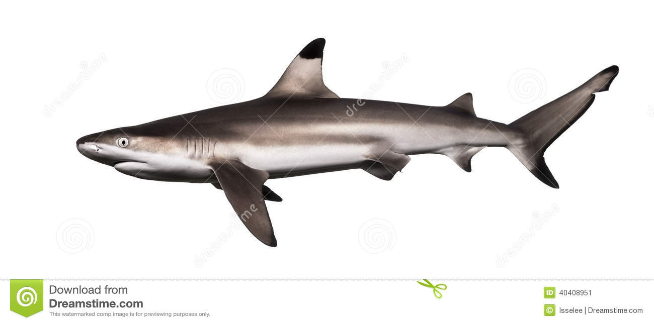 side view of a blacktip reef shark carcharhinus