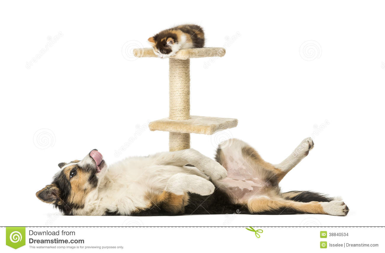Side View Of A Border Collie Lying On Its Back Stock Photo