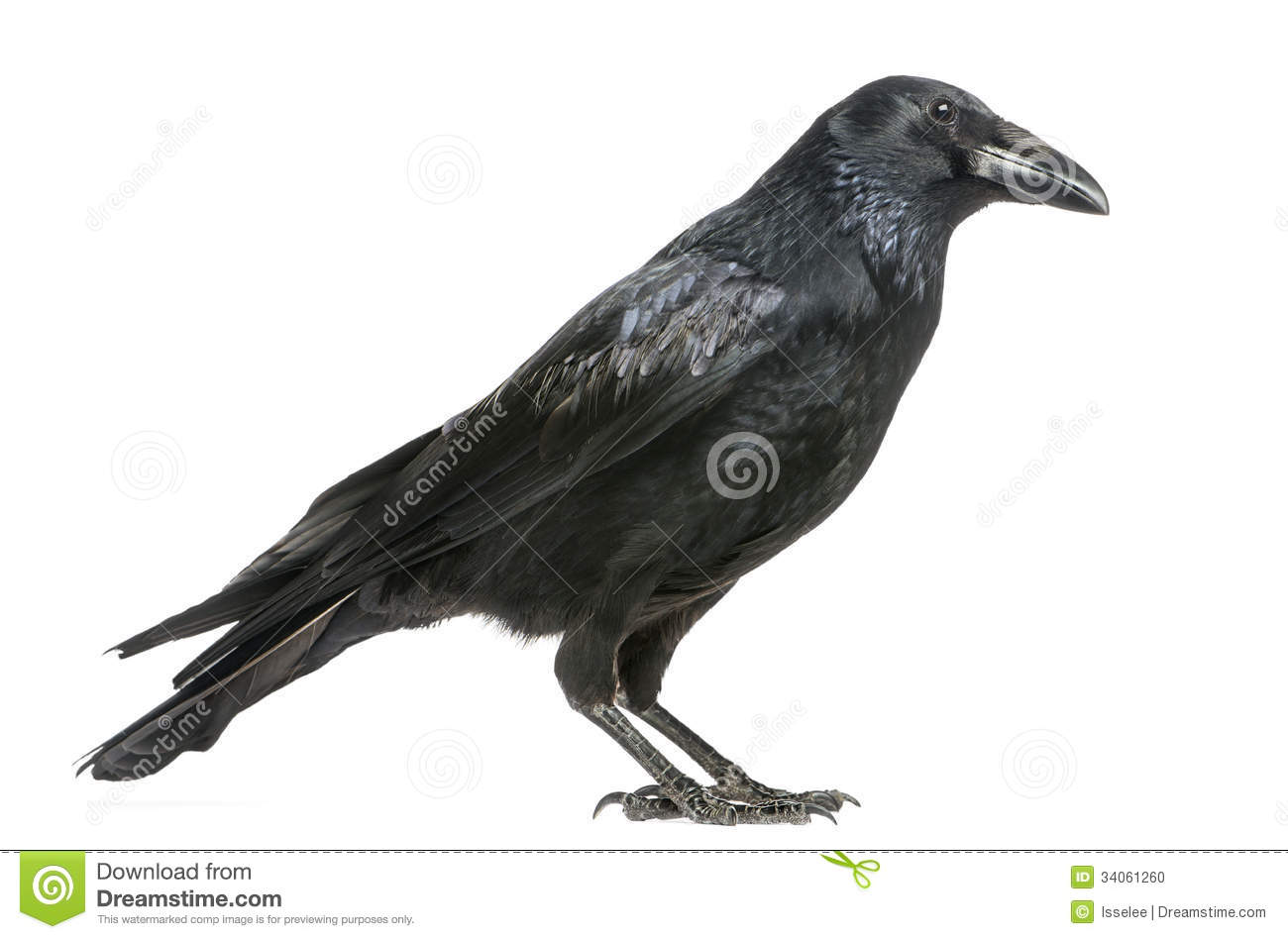 Side View Of A Carrion Crow, Corvus Corone, Isolate Stock ...