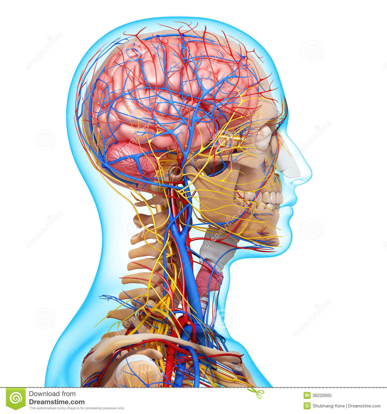 Side View Of Circulatory System Of Head Skeleton Royalty Free Stock Photo