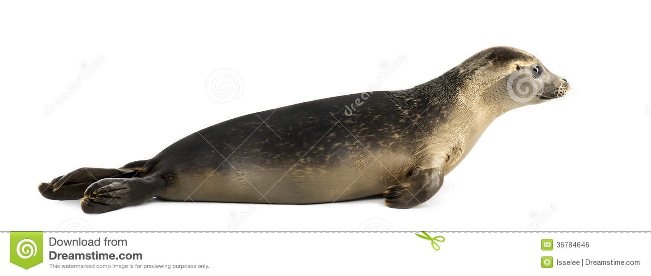 seal harbor hispanic single men The grey seal is currently listed as a protected species under annex ii giving the species its name horsehead in canada and its latin name that translates.