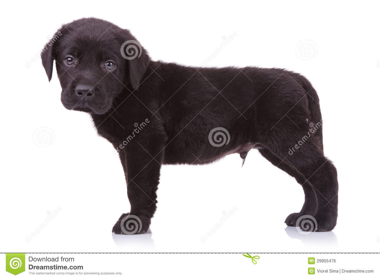 Cute Black Labrador Puppy Dog Looking At The Camera Royalty Free Stock ...
