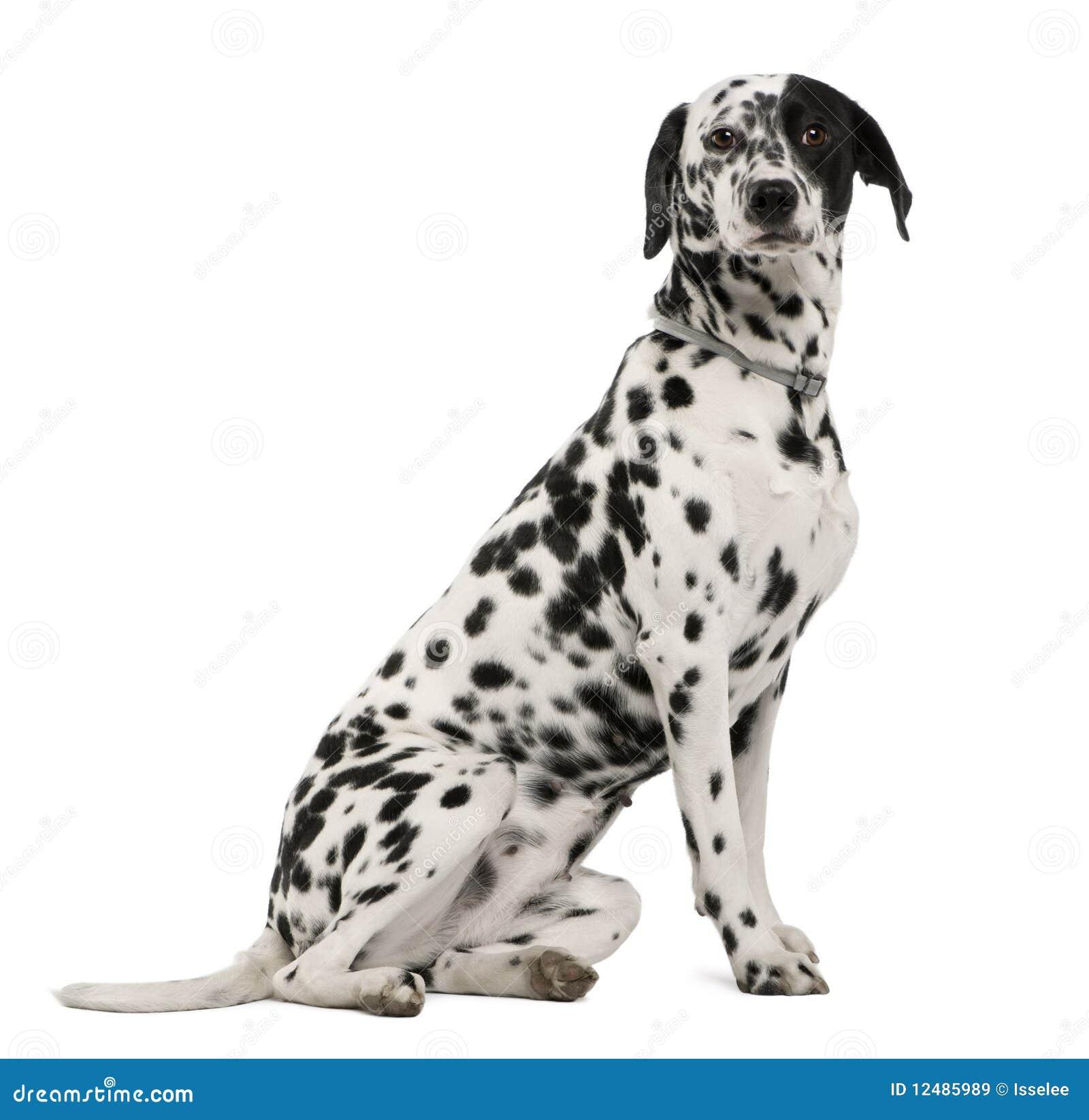side view of dalmatian dog sitting stock image image 12485989. Black Bedroom Furniture Sets. Home Design Ideas