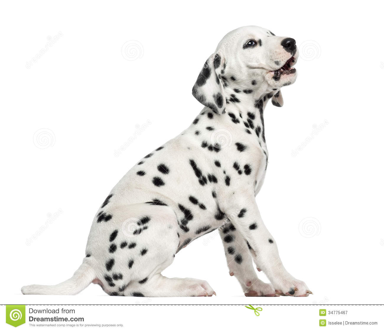 Side View Of A Dalmatian Puppy Barking, Sitting, Isolated Royalty Free ...