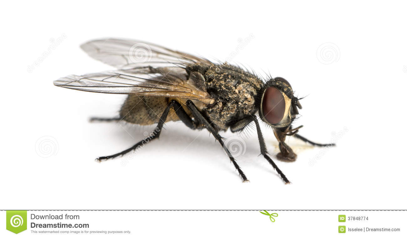 Side View Of A Dirty Common Housefly Eating Musca Domestica Isolated