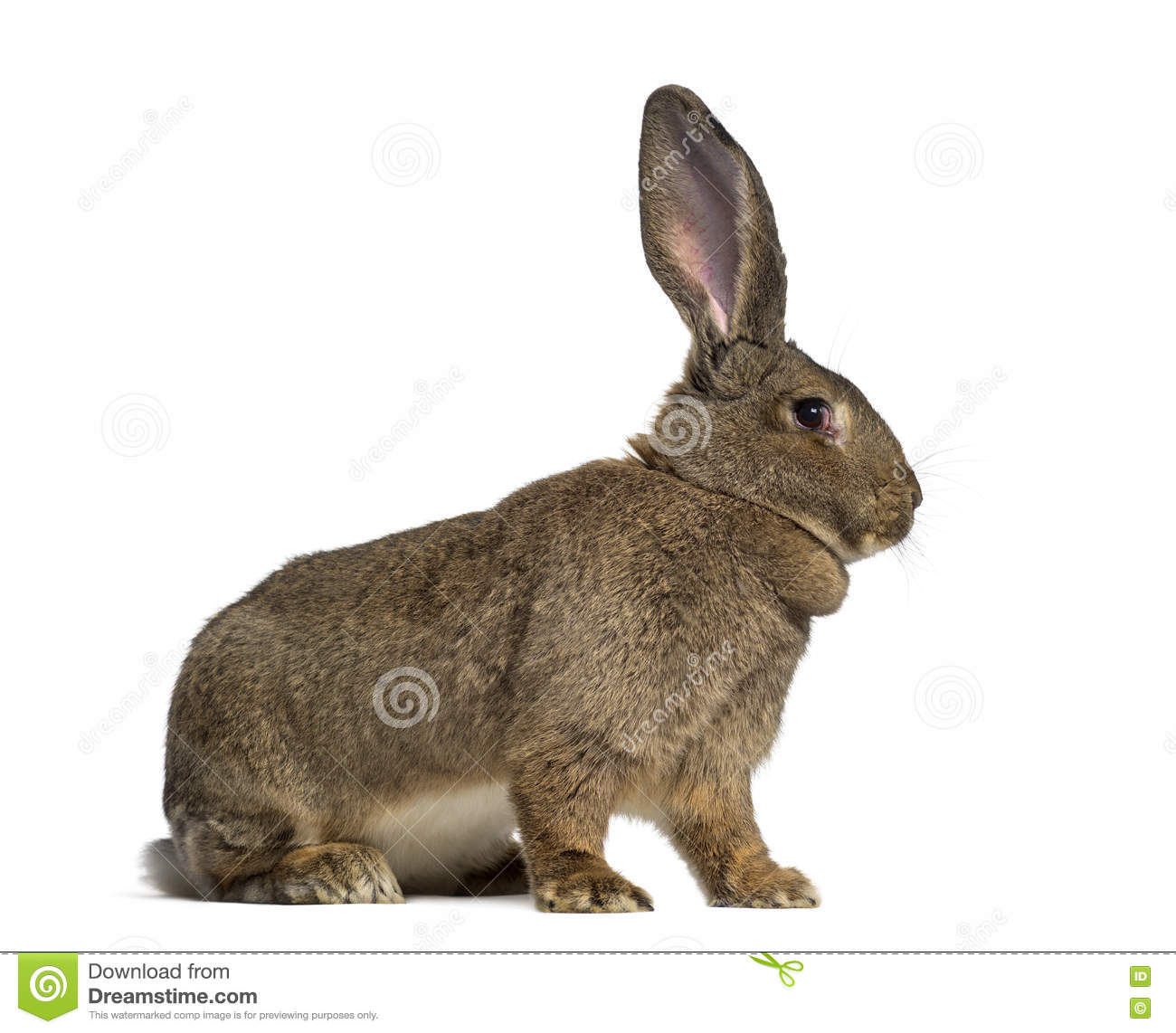 Side View Of A Flemish Giant Rabbit Stock Image Image Of