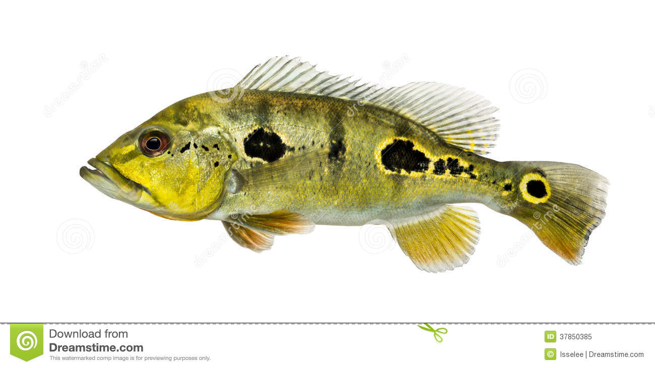 Side view of a fresh water aquarium fish royalty free for What sides go with fish