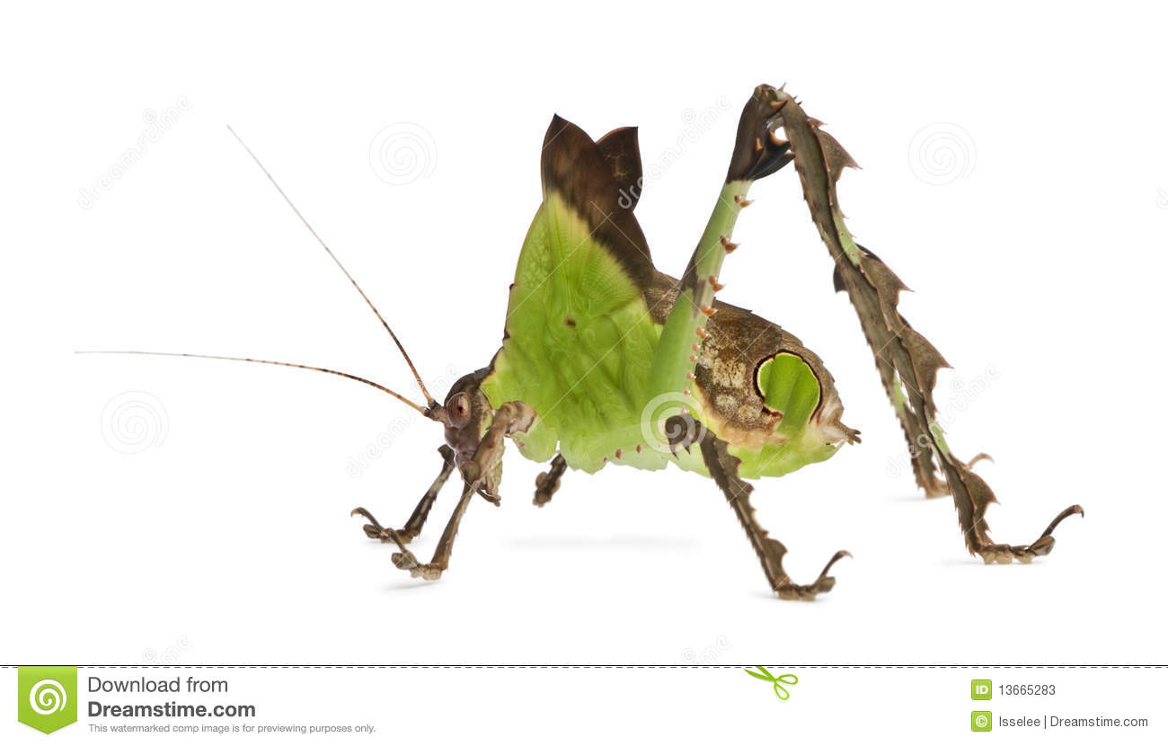 Malaysian People Clipart Side View Of Grasshopp...