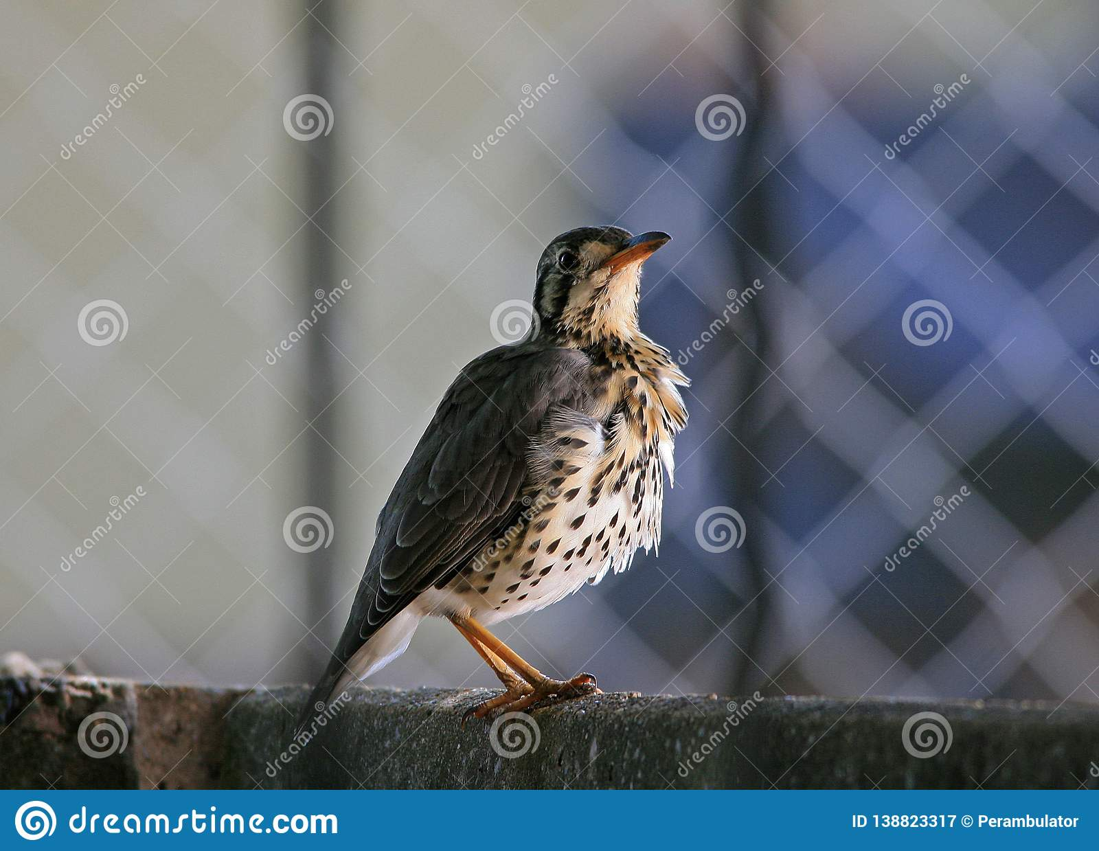 GROUNDSCRAPER THRUSH ON A WALL LOOKING UPWARDS