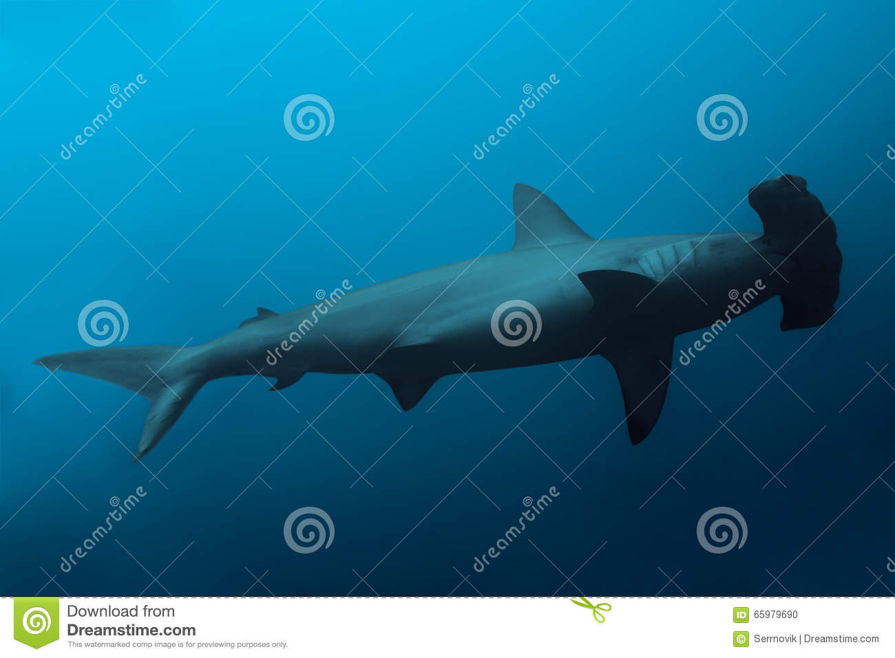 Download Side View Of The Hammerhead Shark In Ocean Stock Photo - Image of awesome, fishes: 65979690