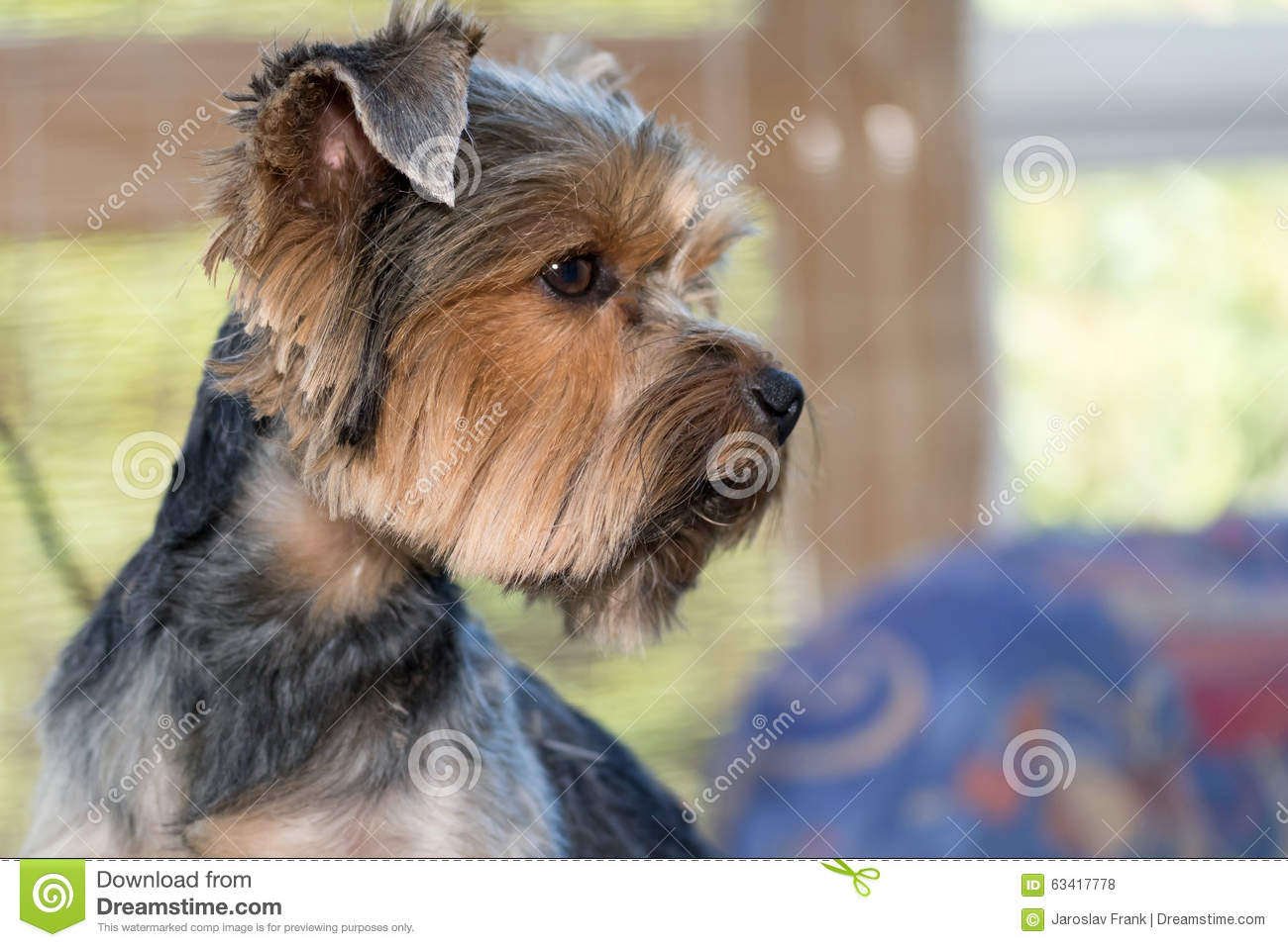 Side View Of The Head Of Yorkshire Terrier Stock Photo Image Of