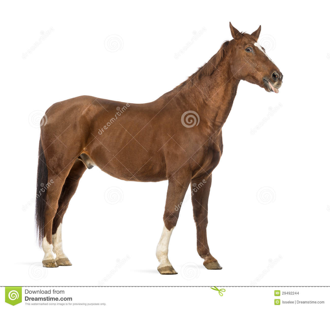 side view of a horse sticking its tongue out stock photo