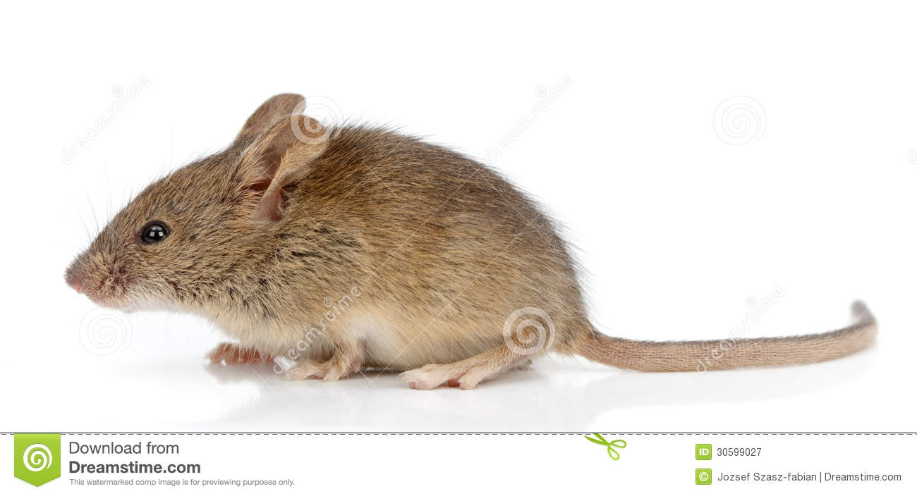 Side View Of House Mouse (Mus Musculus) Royalty Free Stock Photography ...
