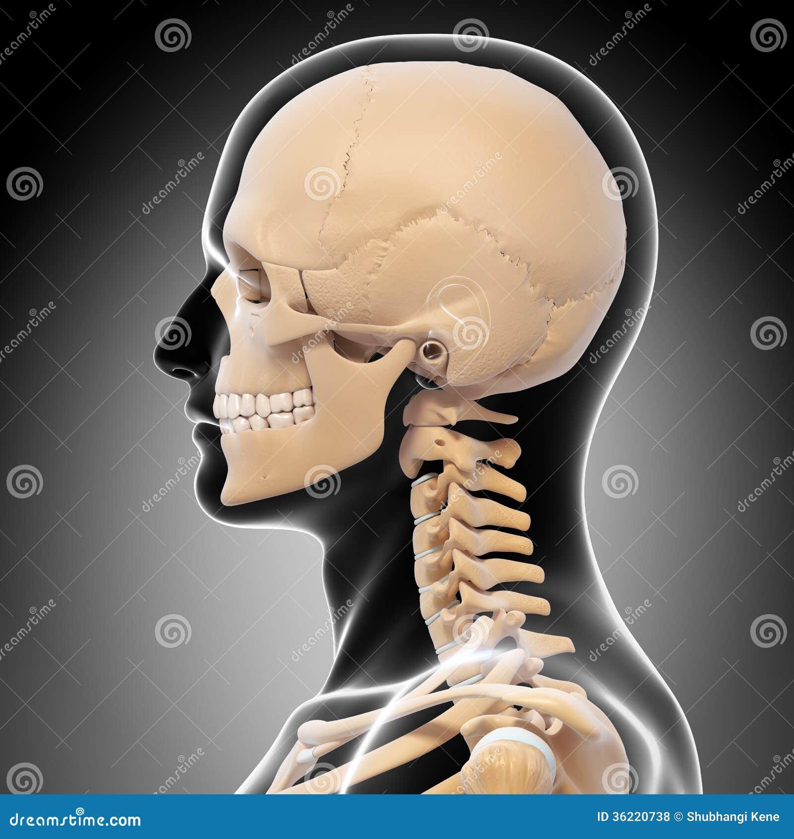 Side View Human Head Skeleton D Art Illustration