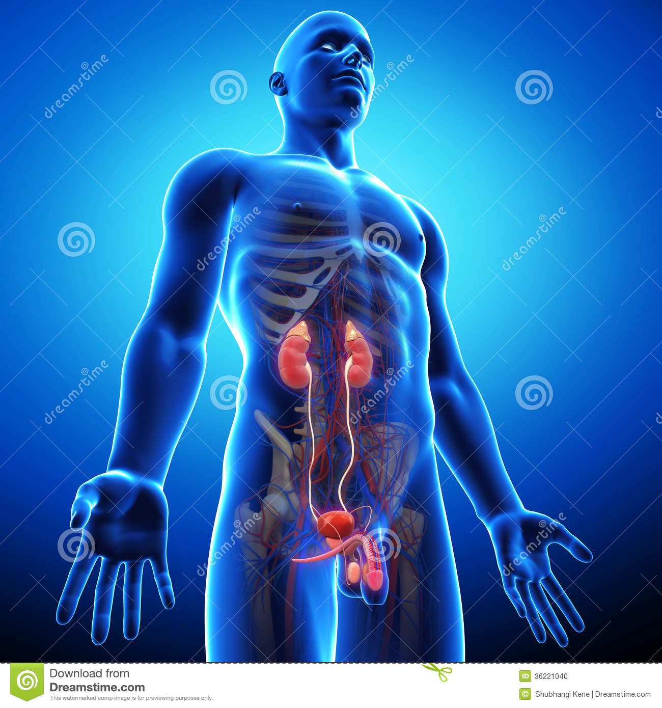 Side View Of Human Urinary System Stock Illustration