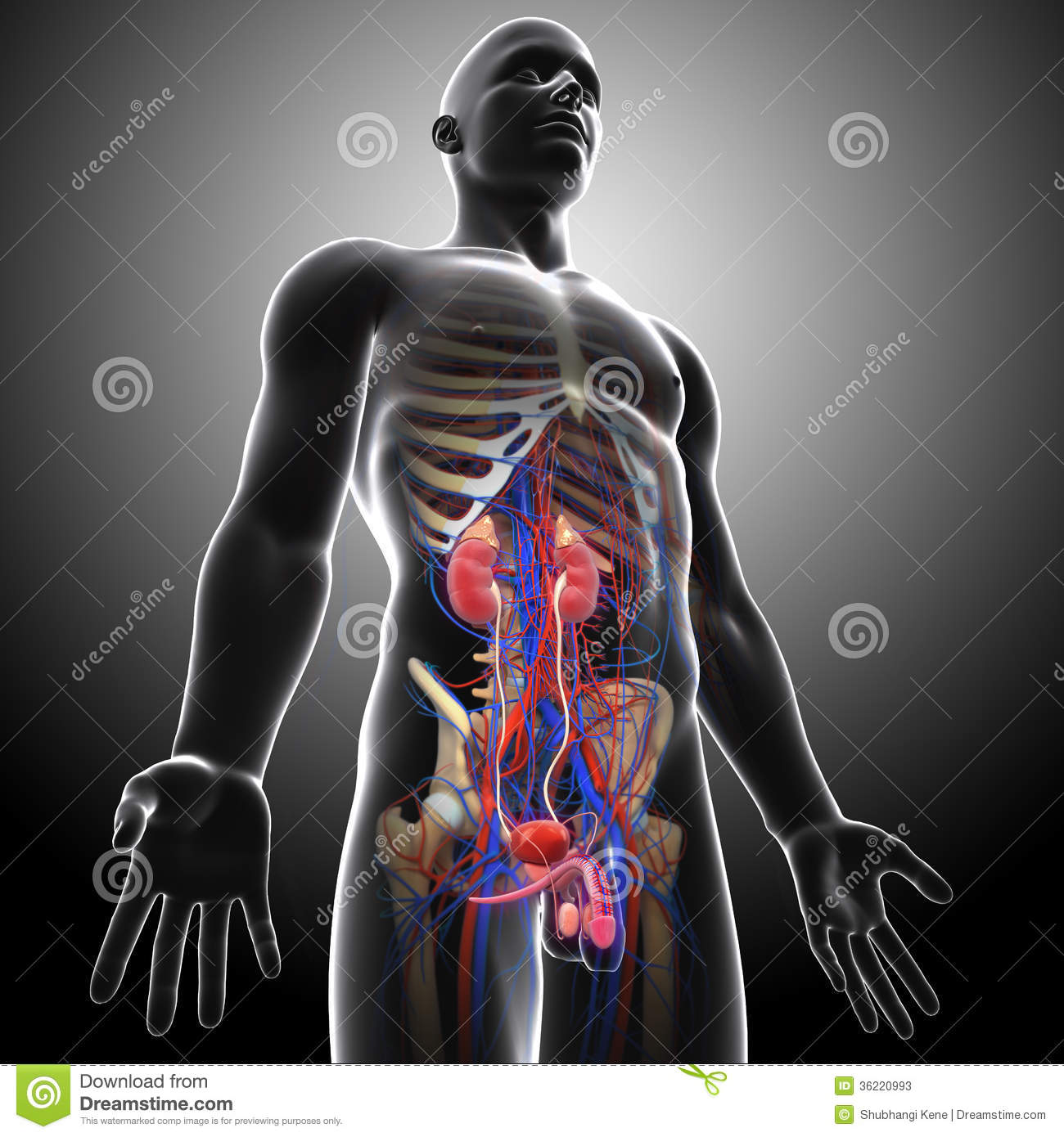 Side View Of Human Urinary System In Gray X-ray Stock