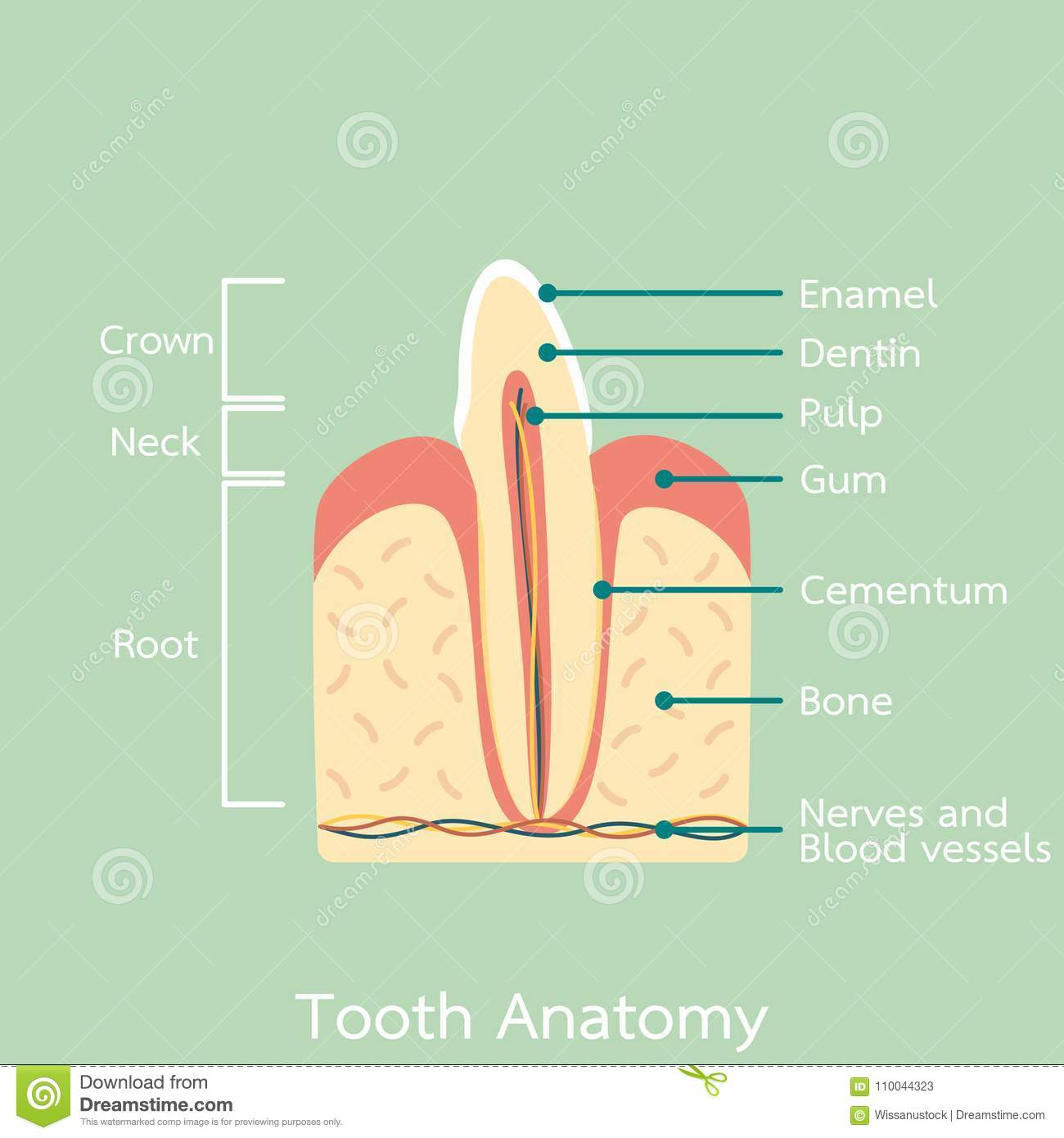 Side View Of Incisor Tooth Anatomy Structure Including The Bone And