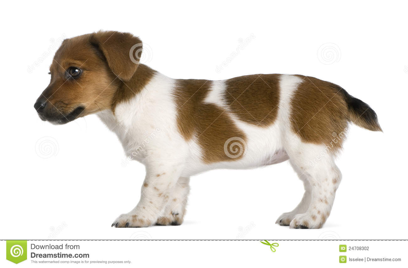 side view of a jack russel terrier puppy stock photography image 24708302. Black Bedroom Furniture Sets. Home Design Ideas